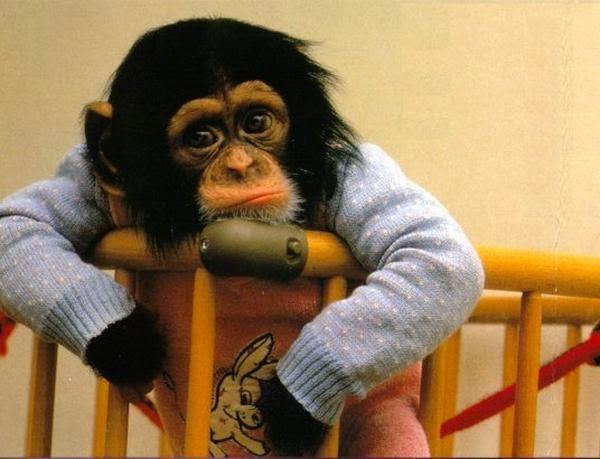 Monyet Merenung, gagal kawin!!