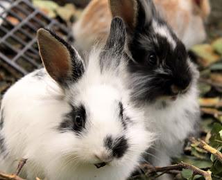 Kaniner uthyres