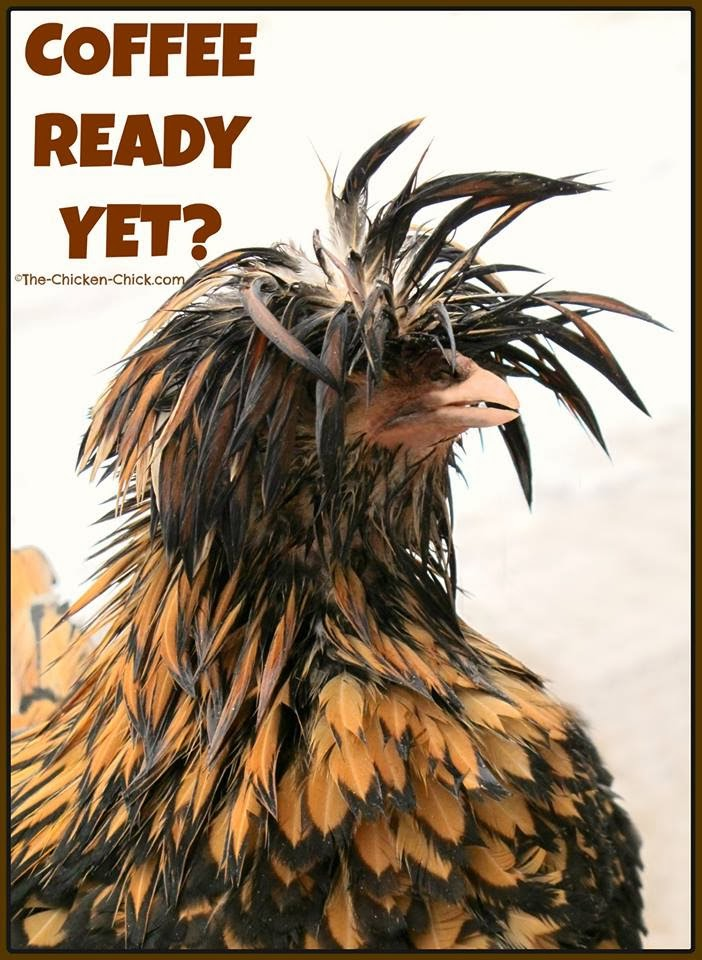 Coffee Ready Yet? (Tolbunt Polish Frizzle hen)