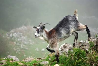 Asturias, cabra al lado del sendero