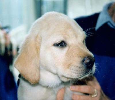 yellow Lab puppy Roselle at 3 months from archives