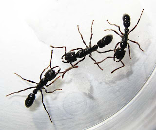 Two workers of Plectroctena ants
