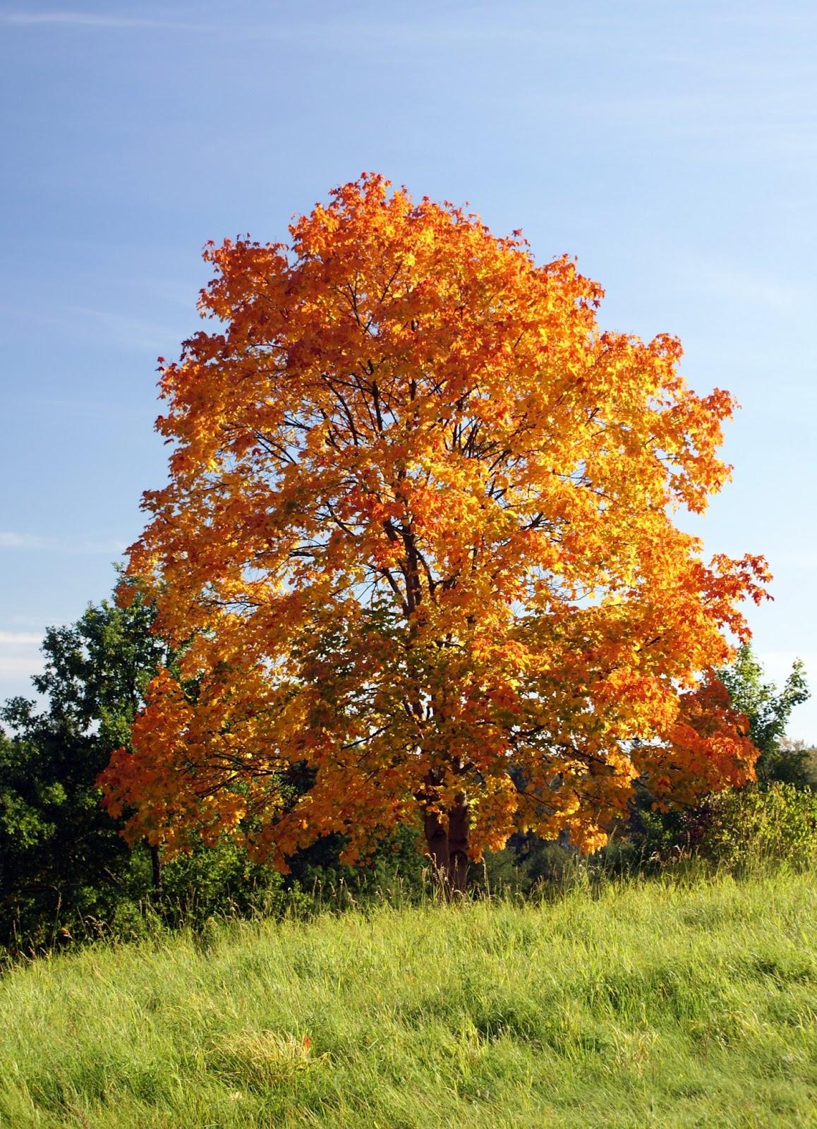 Trees planet acer platanoides norway maple - Arce platanoide ...