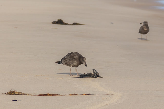 juvenile pacific gull pecking at dead bird
