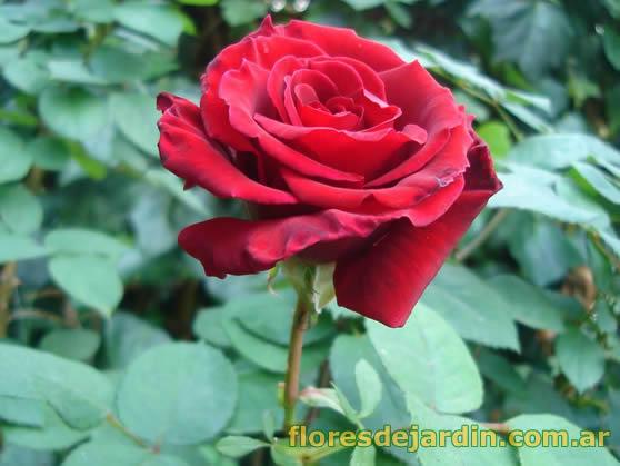 Imagenes De Flores De Rosa