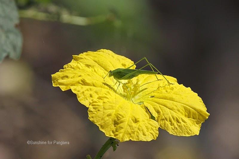 A bush cricket (Tettigoniidae) in Gambia.