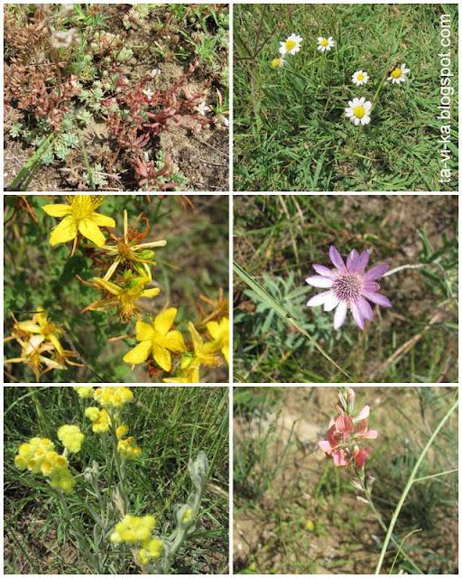 крымские степные цветы