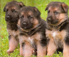Litter size of German Shepherd