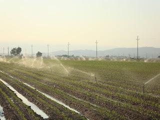 Sprinkler irrigation rice field photo - Sant Carles de La Rápita - Tarragona - Spain
