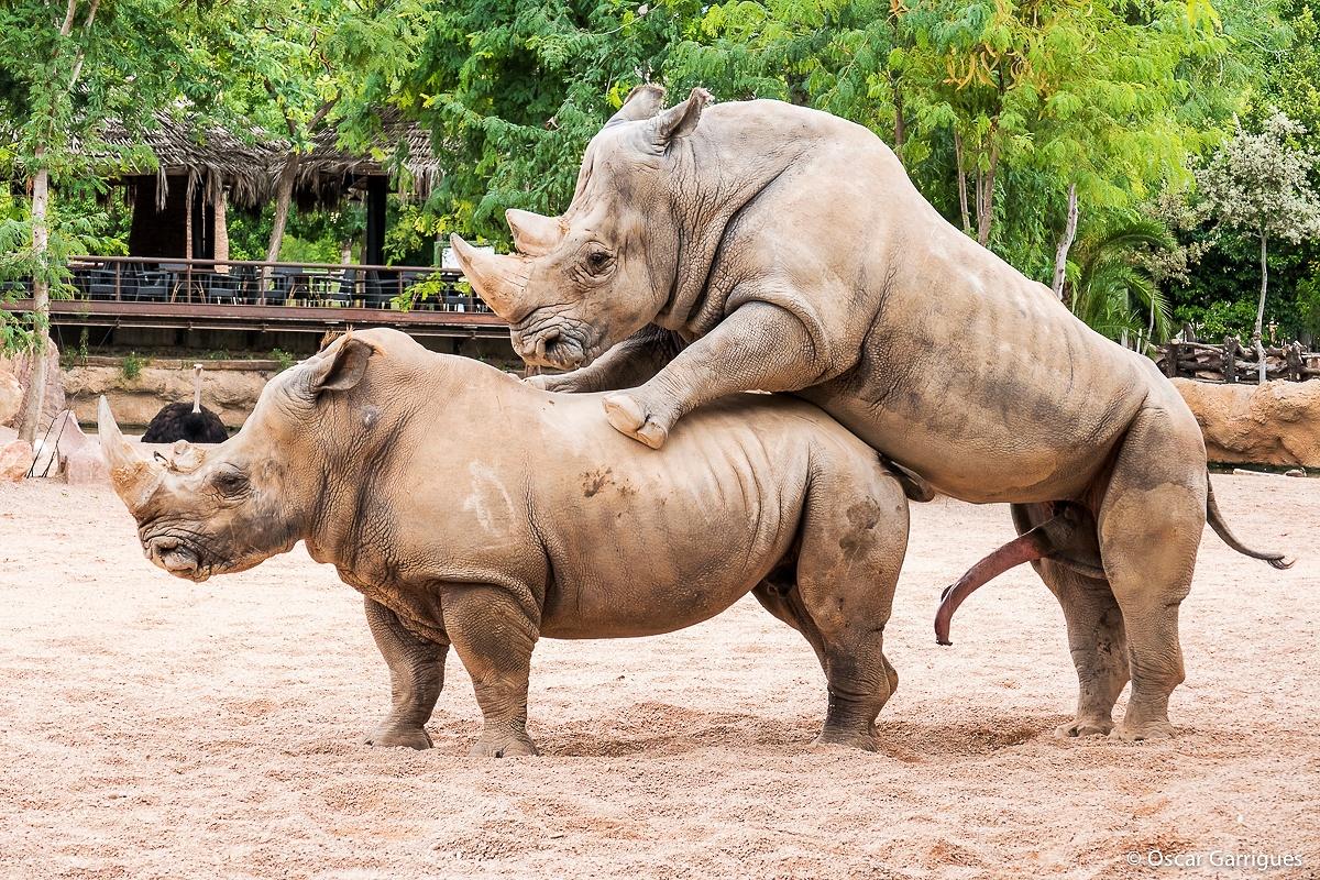 pene de rinoceronte