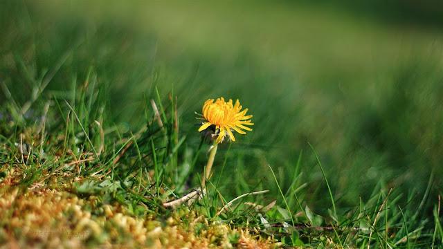 dandelion in green grass