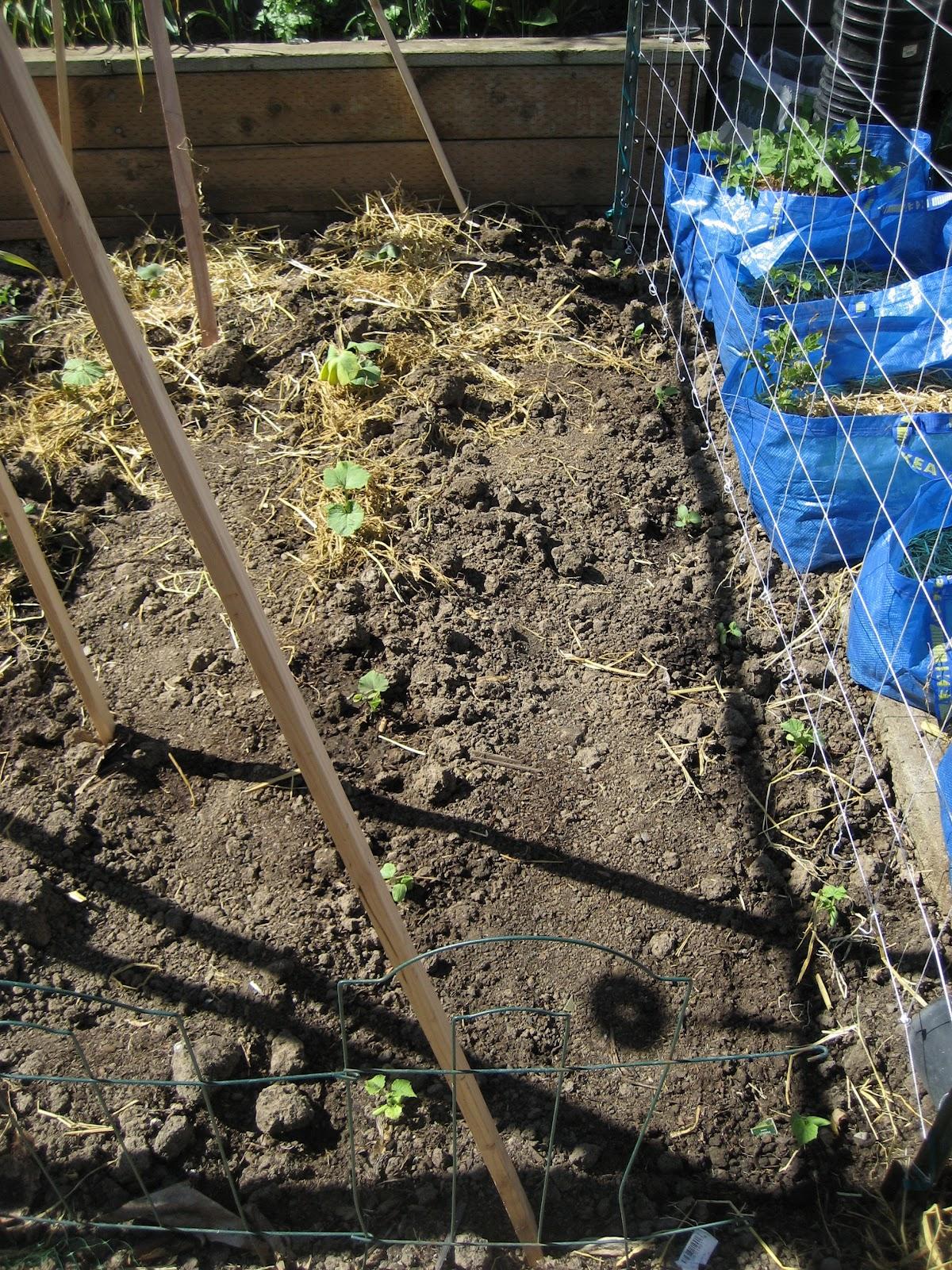 backyard farming growing winter squash vertically