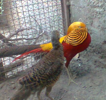 Young red golden pheasant