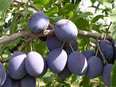 blue prune