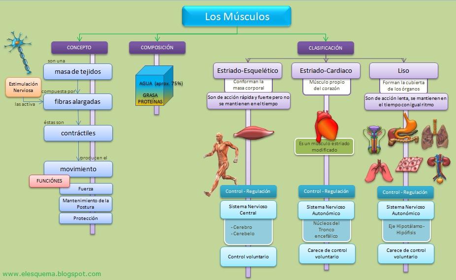 Los Músculos | Esquemas, diagramas, gráficos y mapas conceptuales.