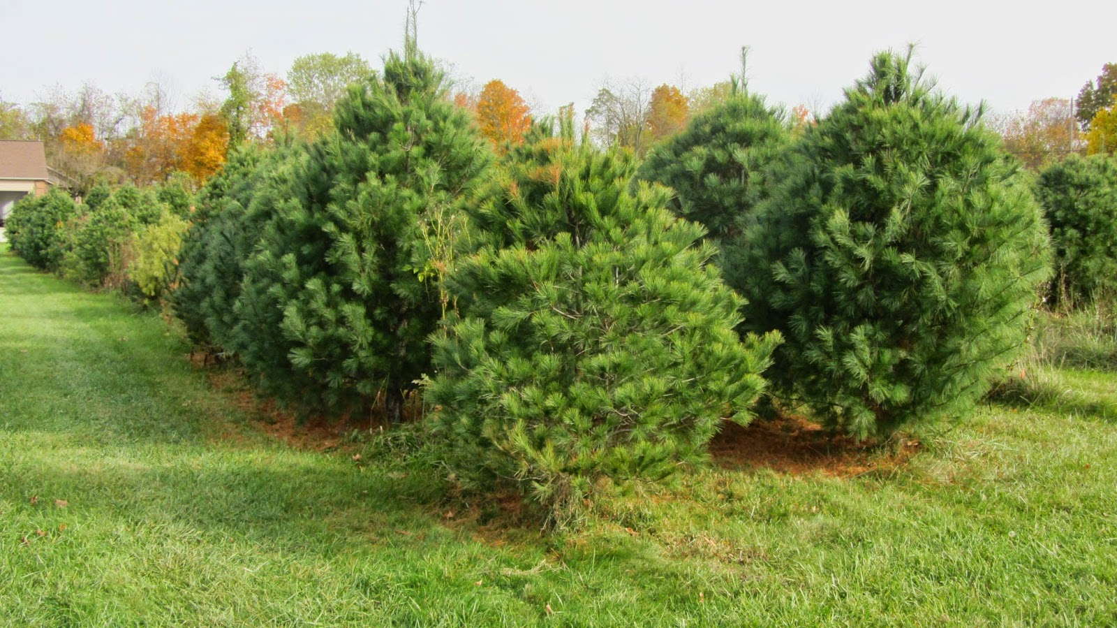 farm to cut your christmas tree farmer glass has been caring for these trees since they were saplings just so you have the perfect tree for your home - Christmas Tree Farming