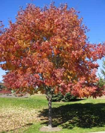 Autumn Ash3