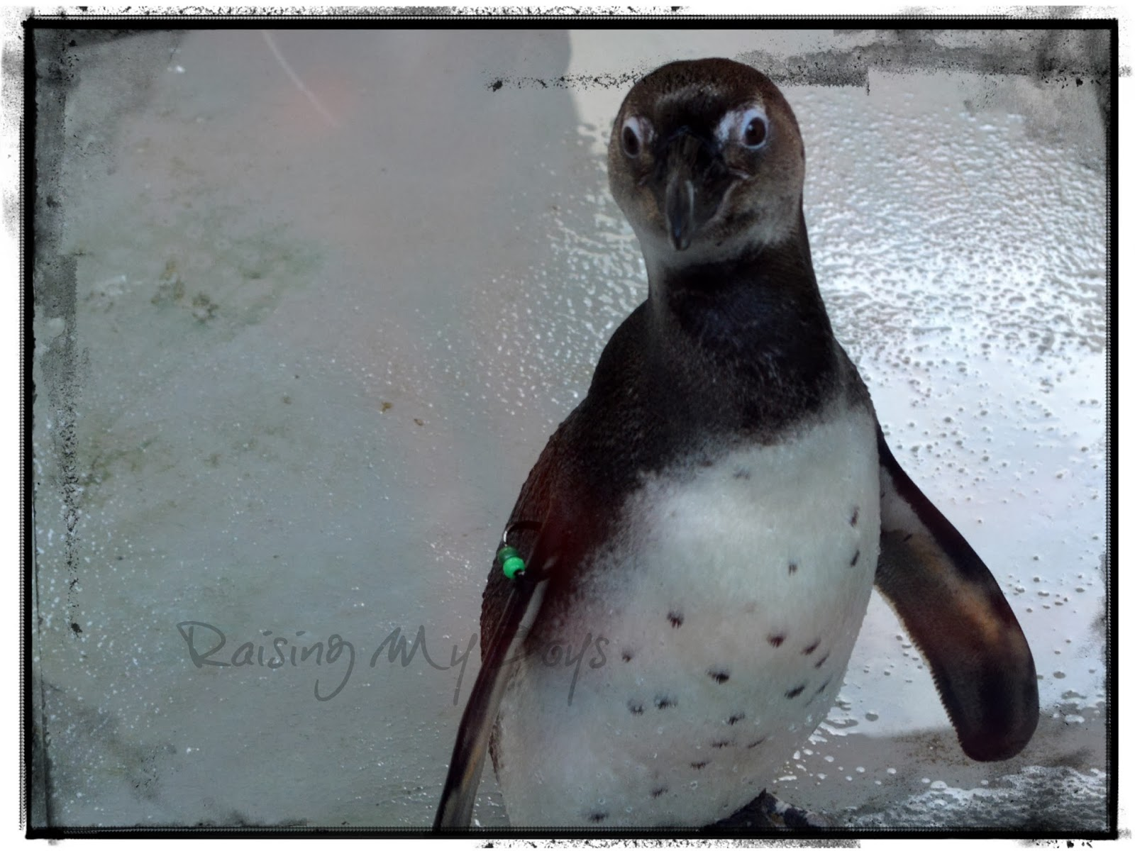 Young African Penguin