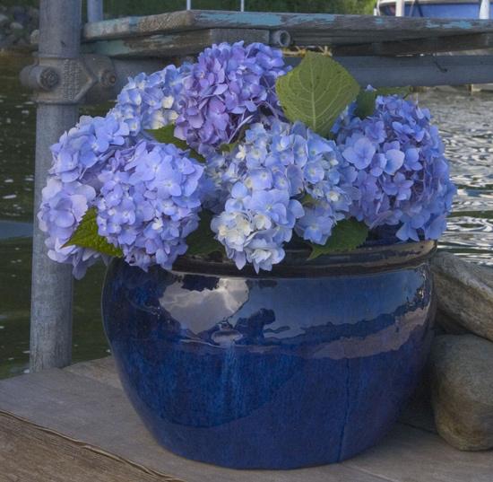 Cindy adkins art books tea hydrangeas beautiful hydrangeas - Care potted hydrangea ...