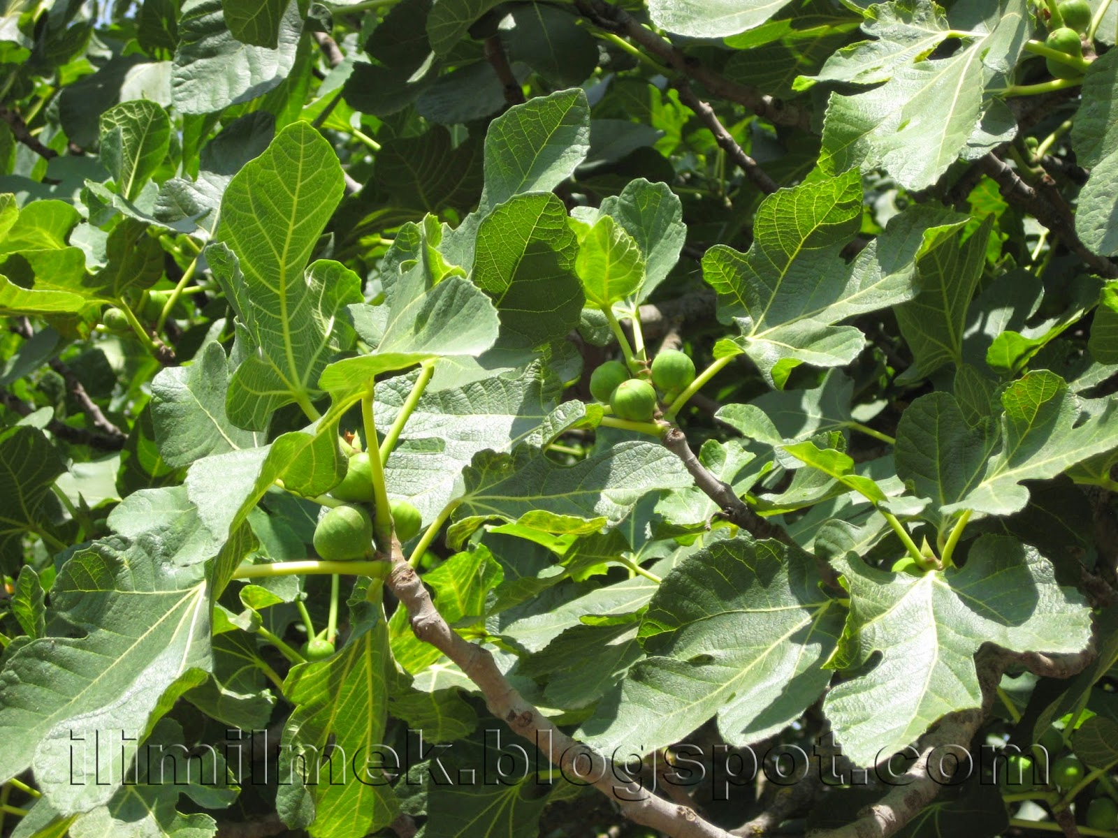 dişi incir ağacı