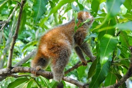 spesies baru Kukang Kalimantan