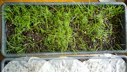 Shade tolerant grass growing in an indoor container