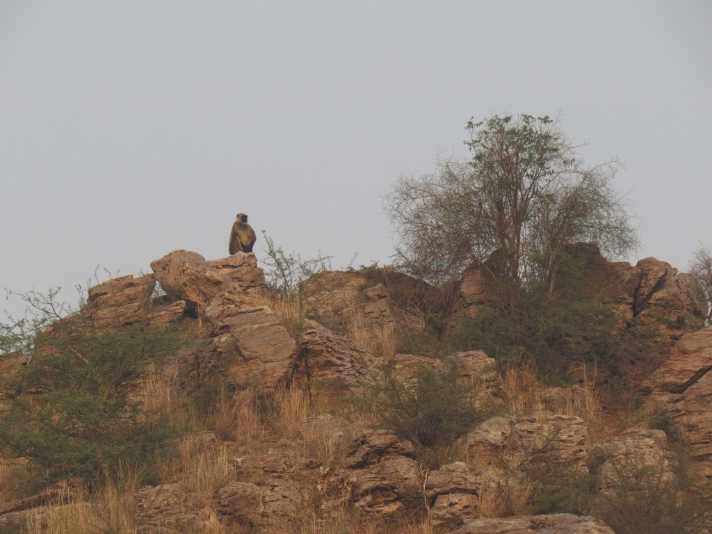 Langoor on a hill