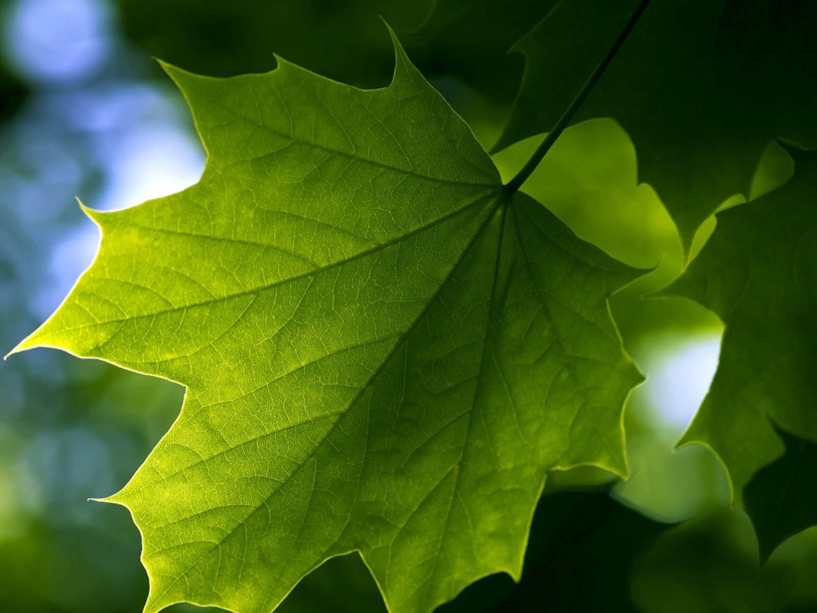wallpapers: Green Leaf Wallpapers