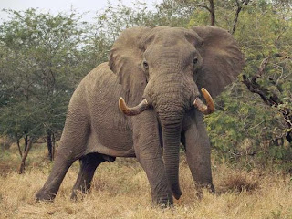 African Elephant fact