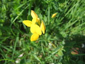 Birds foot trefoil Bird's-foot-trefoil - Lotus corniculatus