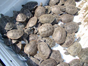 Photo courtesy Port Authority of NY and NJ (terrapins collected in pickup )