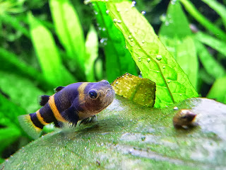 Bumblebee Goby Fish Pictures