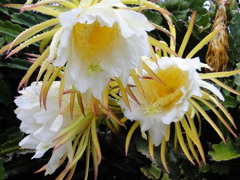 Inspiring nature photography by carol reynolds cereus night the cereus or night blooming cactus is a vineing cactus that grows in several parts of the world the flowers are rather large and quite beautiful and the mightylinksfo
