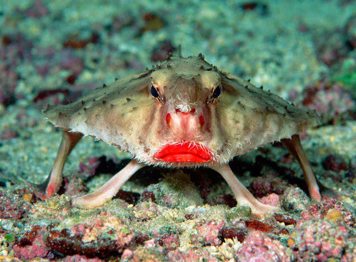 Animaux étranges Red lipped batfish
