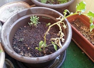 Des pieds de tomates en pot