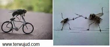Lalat disunat