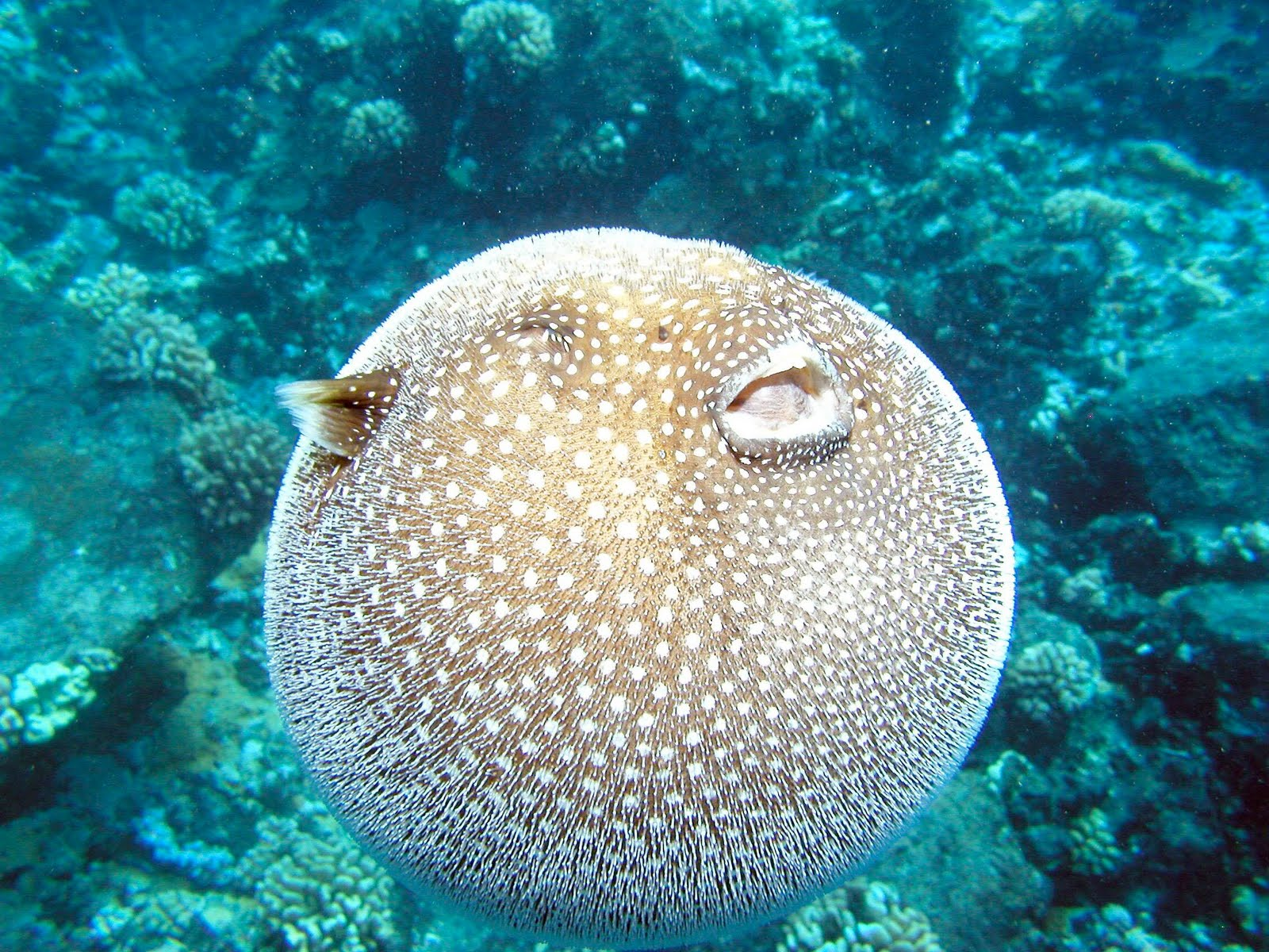 Dwarf puffer fish puffed up for Puffer fish puffing