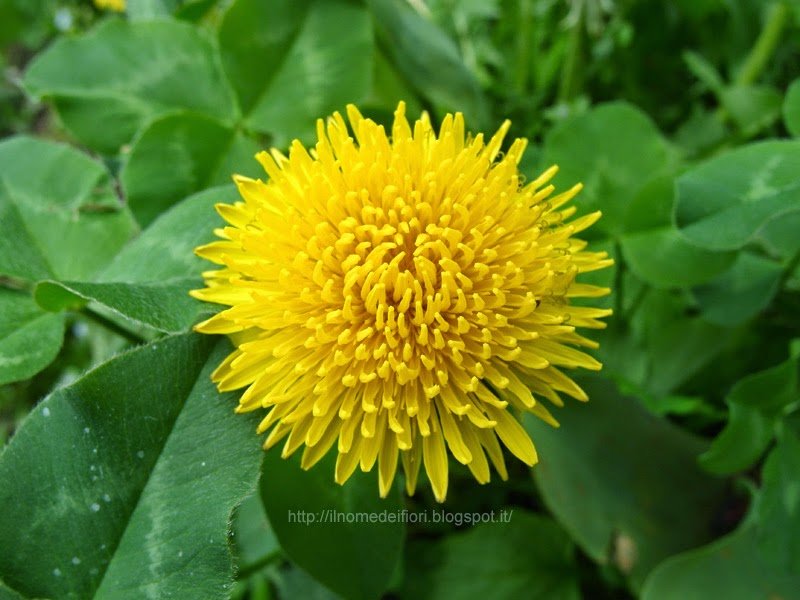 fiori gialli rotondi