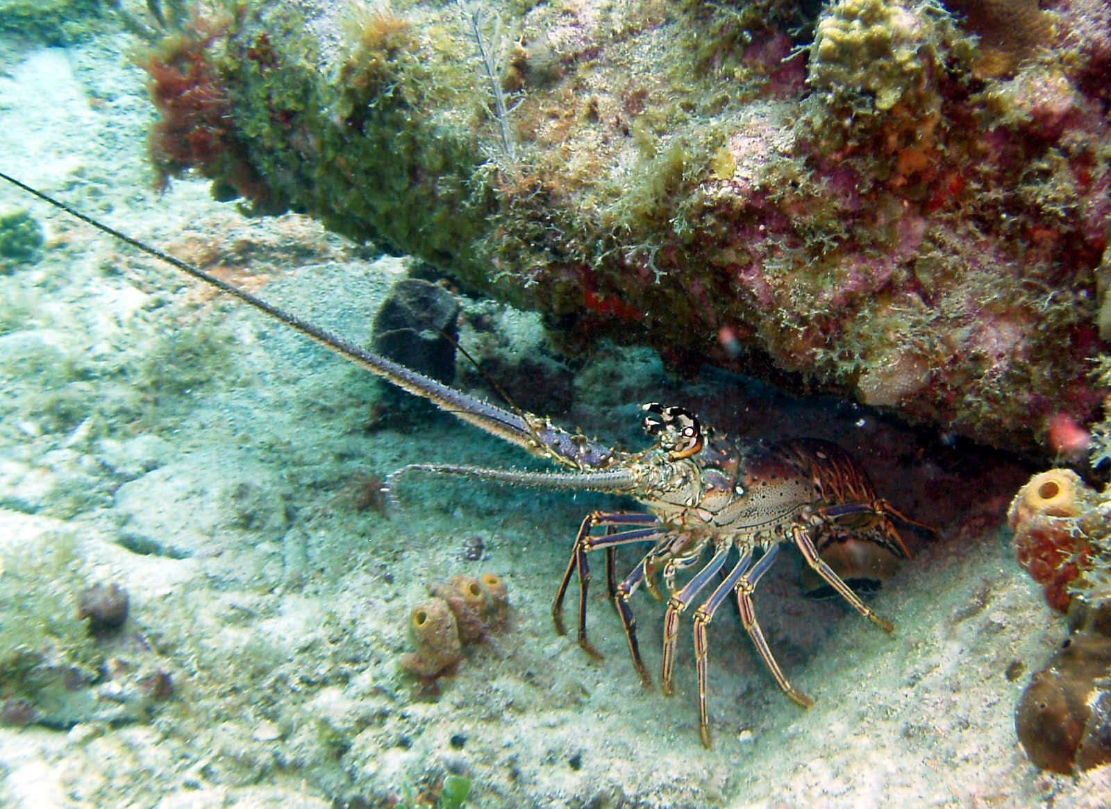 Florida Spiny Lobster Record - Bing images