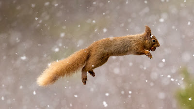 Eurasian red squirrel, Scotland (© Jules Cox/Minden Pictures) 411