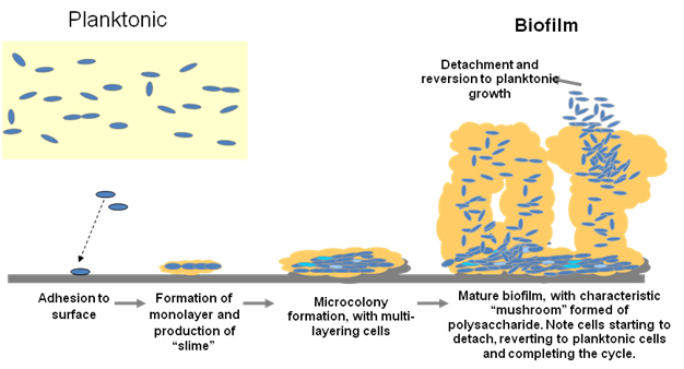 the formation of pseudomonas biofilms biology essay The presence of pseudomonas biofilms in food production facilities biofilms have been found not only on food production surfaces but foodprocessing environments provide a variety of conditions, which might favor the formation of biofilm, for instance: presence.