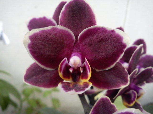 les orchid es bucoliques princesses vertes et autres diablotins curiosit scientifique ou l. Black Bedroom Furniture Sets. Home Design Ideas