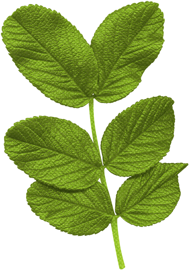 Image gallery hojas de arboles for Arboles de jardin de hoja caduca