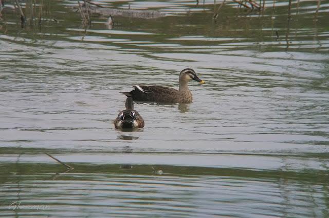 花嘴鴨,關渡自然公園