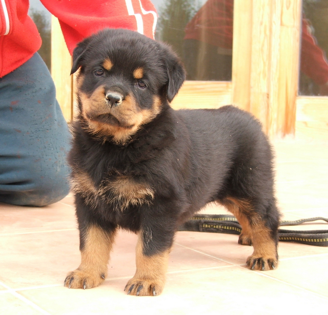 pictures rottweilers dogs image search results