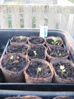 Celeriac slow but steadily growing.