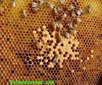madu-dari-nektar-bunga-sarang-lebah