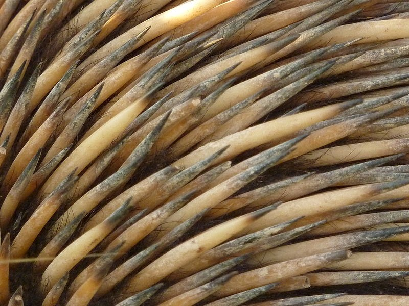 Shrt-beaked echidna spines and fur close-up