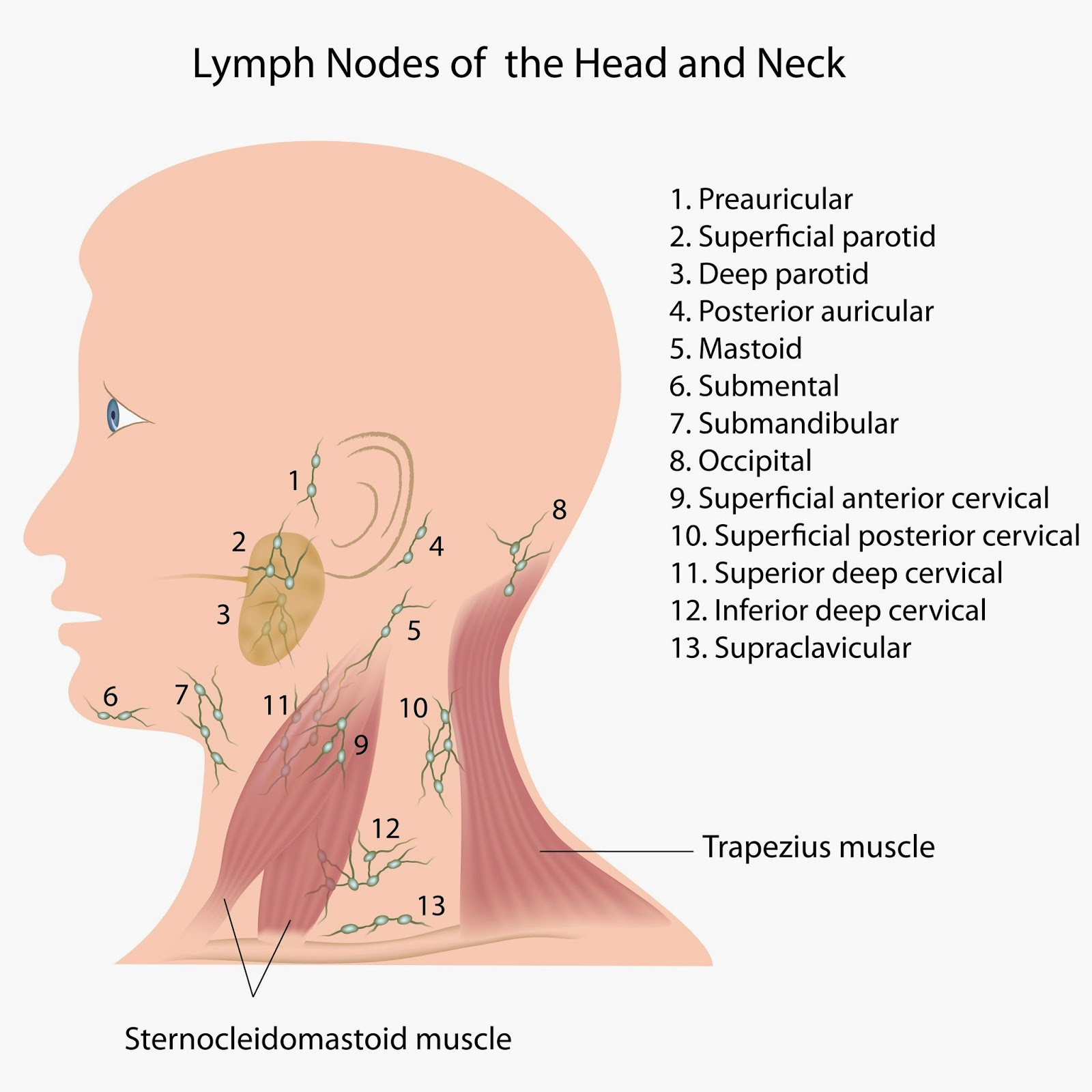 Bumps Ridges And Soft Spots On Babys Head