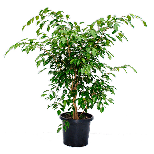 12 plantas que limpian y purifican el aire de tu hogar - Ficus elastica cuidados ...